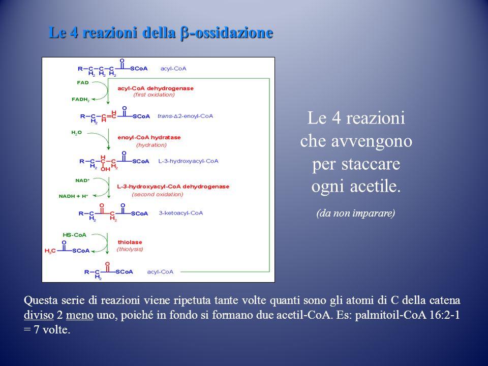 Le 4 reazioni della  -ossidazione Questa serie di reazioni viene ripetuta tante volte quanti sono gli atomi di C della catena diviso 2 meno uno, poiché in fondo si formano due acetil-CoA.