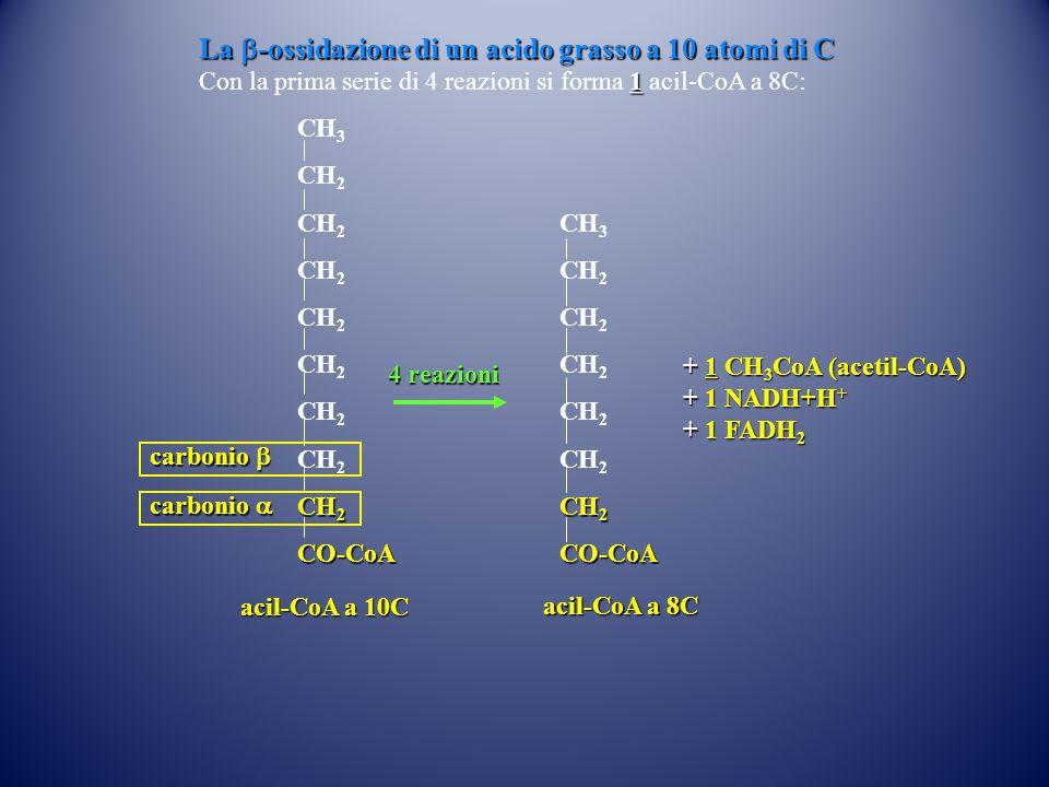 CH 3 CH 2 CO-CoA 4 reazioni acil-CoA a 8C CH 3 CH 2 CO-CoA acil-CoA a 10C carbonio  carbonio  La  -ossidazione di un acido grasso a 10 atomi di C 1 Con la prima serie di 4 reazioni si forma 1 acil-CoA a 8C: + 1 CH 3 CoA (acetil-CoA) + 1 NADH+H + + 1 FADH 2