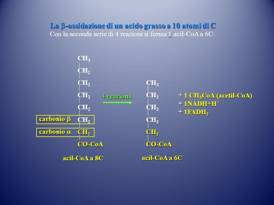 CH 3 CH 2 CO-CoA 4 reazio ni acil-CoA a 6C CH 3 CH 2 CO-CoA acil-CoA a 8C carbonio  carbonio  La  -ossidazione di un acido grasso a 10 atomi di C 1 Con la seconda serie di 4 reazioni si forma 1 acil-CoA a 6C: + 1 CH 3 CoA (acetil-CoA) + 1NADH+H + + 1FADH 2