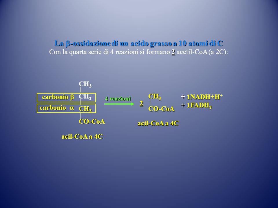 CH 3 CH 2 CO-CoA 4 reazioni acil-CoA a 4C CH 3 CO-CoA acil-CoA a 4C carbonio  carbonio  La  -ossidazione di un acido grasso a 10 atomi di C 2 Con la quarta serie di 4 reazioni si formano 2 acetil-CoA (a 2C): + 1NADH+H + + 1FADH 2 2