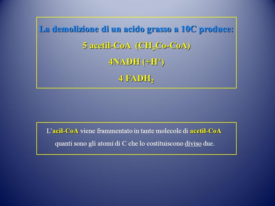 La demolizione di un acido grasso a 10C produce: 5 acetil-CoA (CH 3 Co-CoA) 4NADH (+H + ) 4 FADH 2 acil-CoAacetil-CoA L'acil-CoA viene frammentato in tante molecole di acetil-CoA quanti sono gli atomi di C che lo costituiscono diviso due.