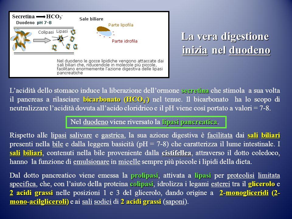 secretina bicarbonato (HCO 3 - ) L'acidità dello stomaco induce la liberazione dell'ormone secretina che stimola a sua volta il pancreas a rilasciare
