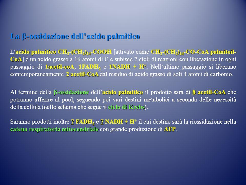 La  -ossidazione dell'acido palmitico acido palmitico CH 3 -(CH 2 ) 14 -COOH CH 3 -(CH 2 ) 14 -CO-CoA palmitoil- CoA 1acetil-coA1NADH + H + 2 acetil-CoA L'acido palmitico CH 3 -(CH 2 ) 14 -COOH [attivato come CH 3 -(CH 2 ) 14 -CO-CoA palmitoil- CoA] è un acido grasso a 16 atomi di C e subisce 7 cicli di reazioni con liberazione in ogni passaggio di 1acetil-coA, 1FADH 2 e 1NADH + H +.