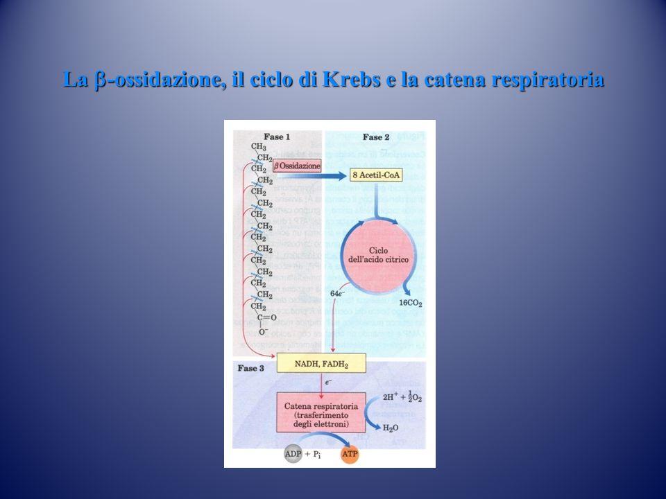 La  -ossidazione, il ciclo di Krebs e la catena respiratoria