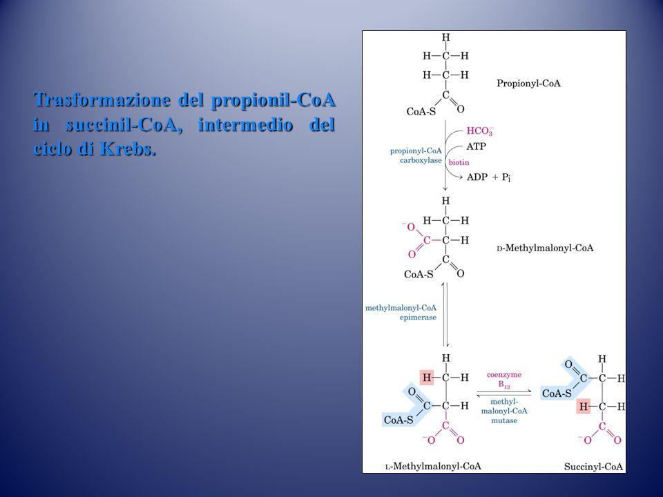 Trasformazione del propionil-CoA in succinil-CoA, intermedio del ciclo di Krebs.