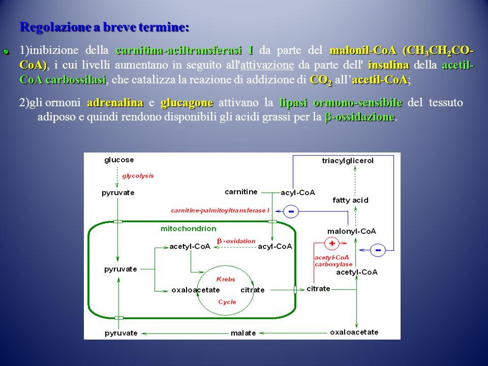 Regolazione a breve termine: carnitina-aciltransferasi Imalonil-CoA (CH 3 CH 2 CO- CoA)insulinaacetil- CoA carbossilasiCO 2 acetil-CoA 1)inibizione della carnitina-aciltransferasi I da parte del malonil-CoA (CH 3 CH 2 CO- CoA), i cui livelli aumentano in seguito all attivazione da parte dell insulina della acetil- CoA carbossilasi, che catalizza la reazione di addizione di CO 2 all'acetil-CoA; adrenalinaglucagonelipasi ormono-sensibile 2)gli ormoni adrenalina e glucagone attivano la lipasi ormono-sensibile del tessuto  -ossidazione adiposo e quindi rendono disponibili gli acidi grassi per la  -ossidazione.