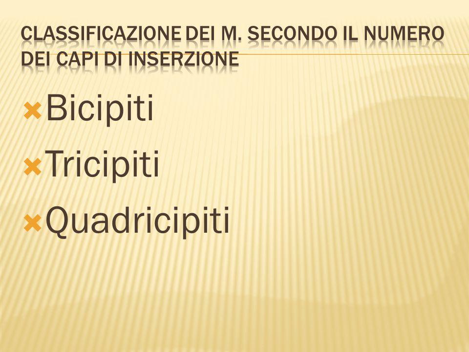  Bicipiti  Tricipiti  Quadricipiti
