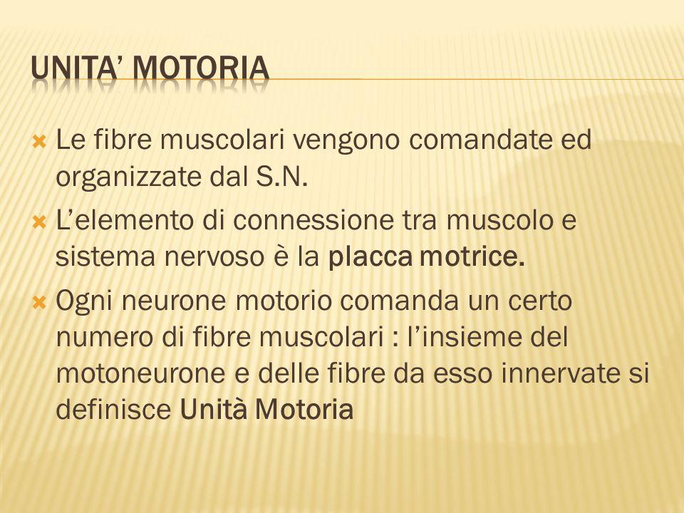  Le fibre muscolari vengono comandate ed organizzate dal S.N.  L'elemento di connessione tra muscolo e sistema nervoso è la placca motrice.  Ogni n