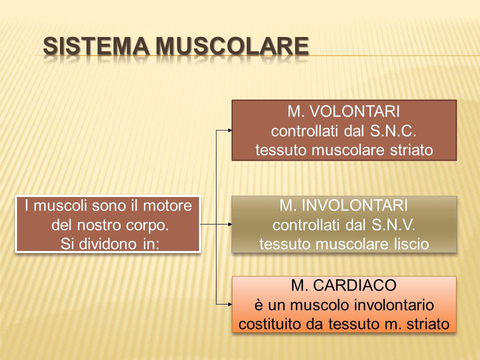 M. INVOLONTARI controllati dal S.N.V. tessuto muscolare liscio M. INVOLONTARI controllati dal S.N.V. tessuto muscolare liscio M. VOLONTARI controllati