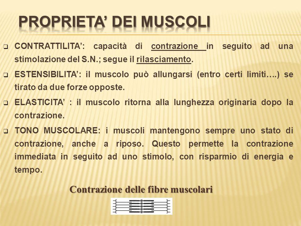  CONTRATTILITA': capacità di contrazione in seguito ad una stimolazione del S.N.; segue il rilasciamento.  ESTENSIBILITA': il muscolo può allungarsi