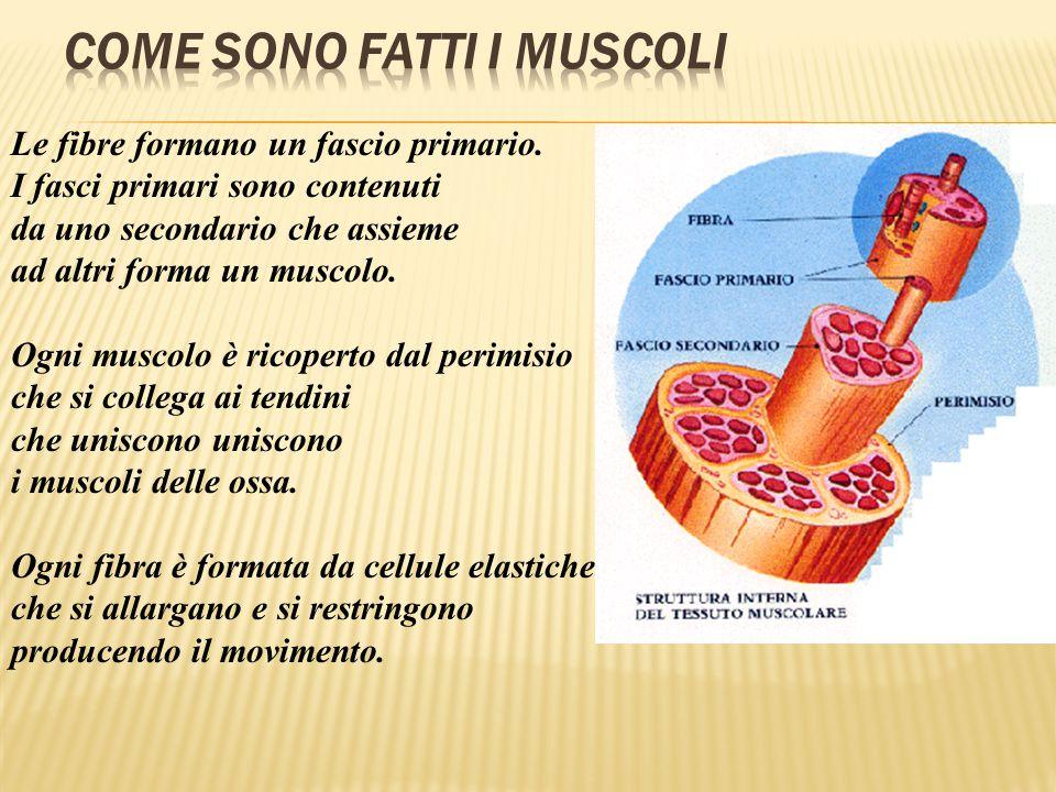 Le fibre formano un fascio primario. I fasci primari sono contenuti da uno secondario che assieme ad altri forma un muscolo. Ogni muscolo è ricoperto