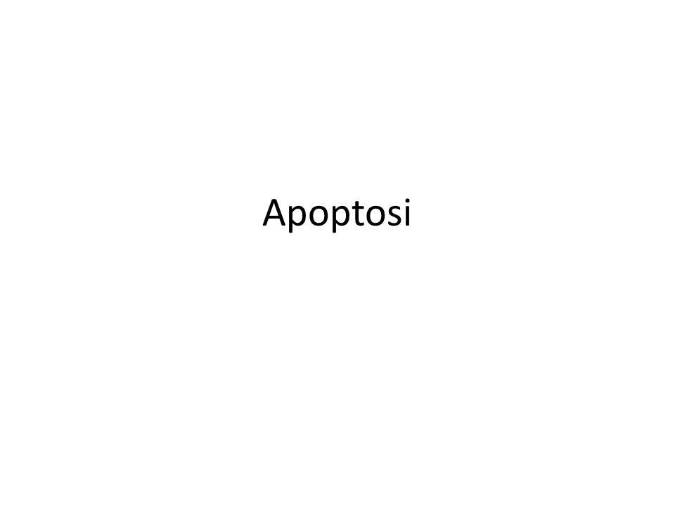 Ruolo dell' apoptosi nelle Malattie Neurodegenerative Apoptosi fisiologica durante lo sviluppo embrionale del cervello innescata dall'assenza di fattori di crescita Tossicità di aggregati di proteine con anomalie strutturali possono innescare apoptosi nella malattia di Alzeheimer, nel morbo di Parkinson, nella malattia di Huntington (Caspasi 9 attivata nel cervello degli alzheimeriani) amyloid-  IC Ca 2+ Oxidative stress Neuronal Receptors Apoptosis Aggregati -Huntington FADD/ Caspase 8 Apoptosis