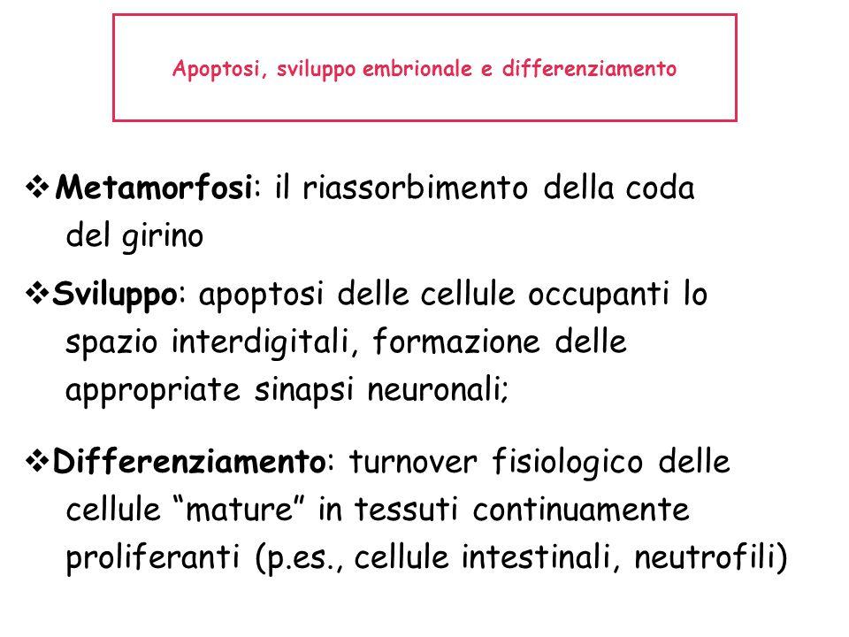 Apoptosi, sviluppo embrionale e differenziamento  Metamorfosi: il riassorbimento della coda del girino  Sviluppo: apoptosi delle cellule occupanti l