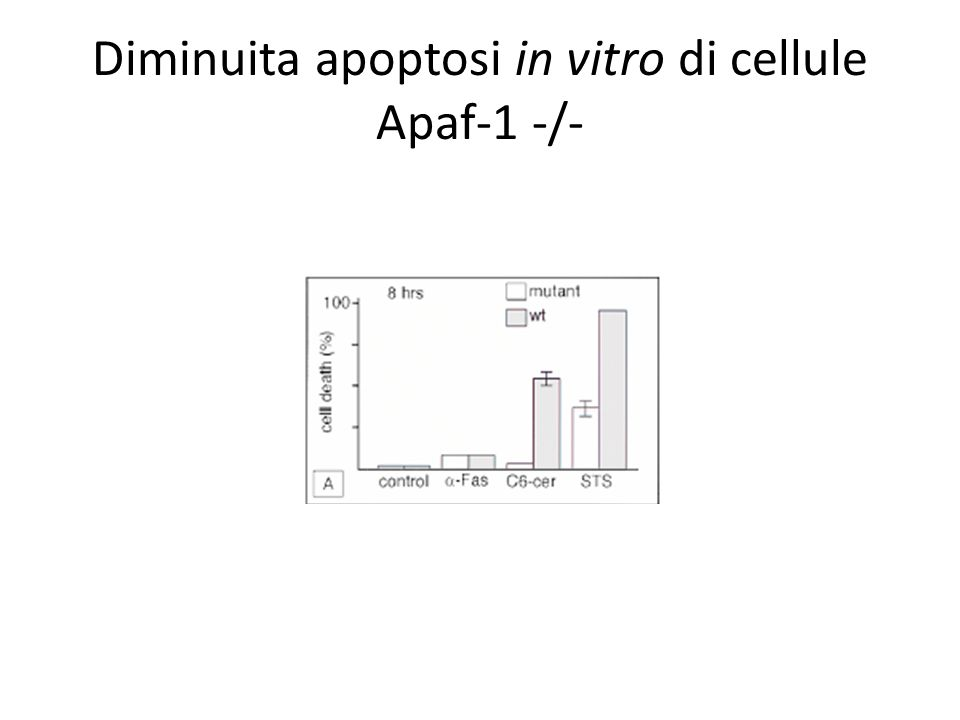 Diminuita apoptosi in vitro di cellule Apaf-1 -/-