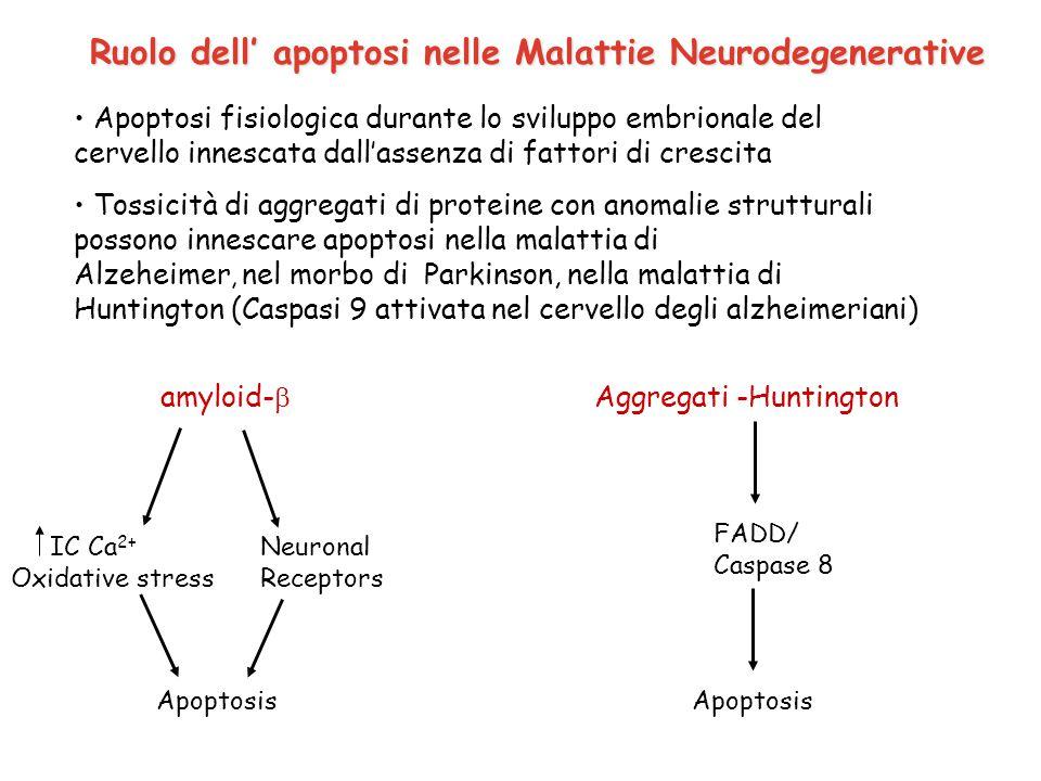 Ruolo dell' apoptosi nelle Malattie Neurodegenerative Apoptosi fisiologica durante lo sviluppo embrionale del cervello innescata dall'assenza di fatto