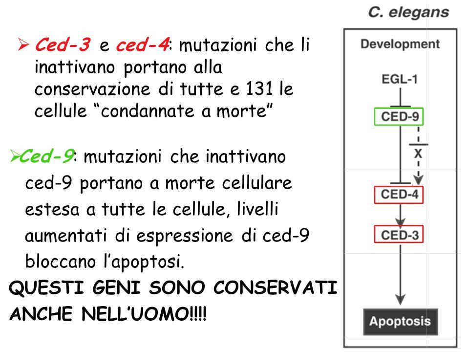 """ Ced-3 e ced-4: mutazioni che li inattivano portano alla conservazione di tutte e 131 le cellule """"condannate a morte""""  Ced-9: mutazioni che inattiva"""