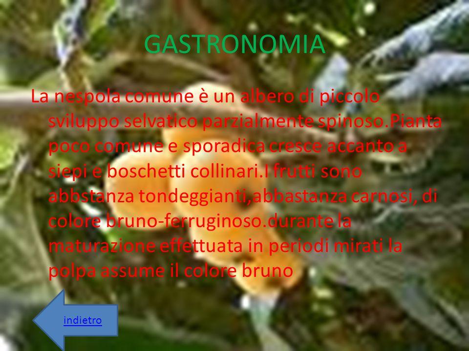 GASTRONOMIA La nespola comune è un albero di piccolo sviluppo selvatico parzialmente spinoso.Pianta poco comune e sporadica cresce accanto a siepi e b