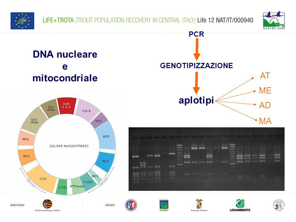3 DNA nucleare e mitocondriale GENOTIPIZZAZIONE aplotipi AT ME AD MA PCR