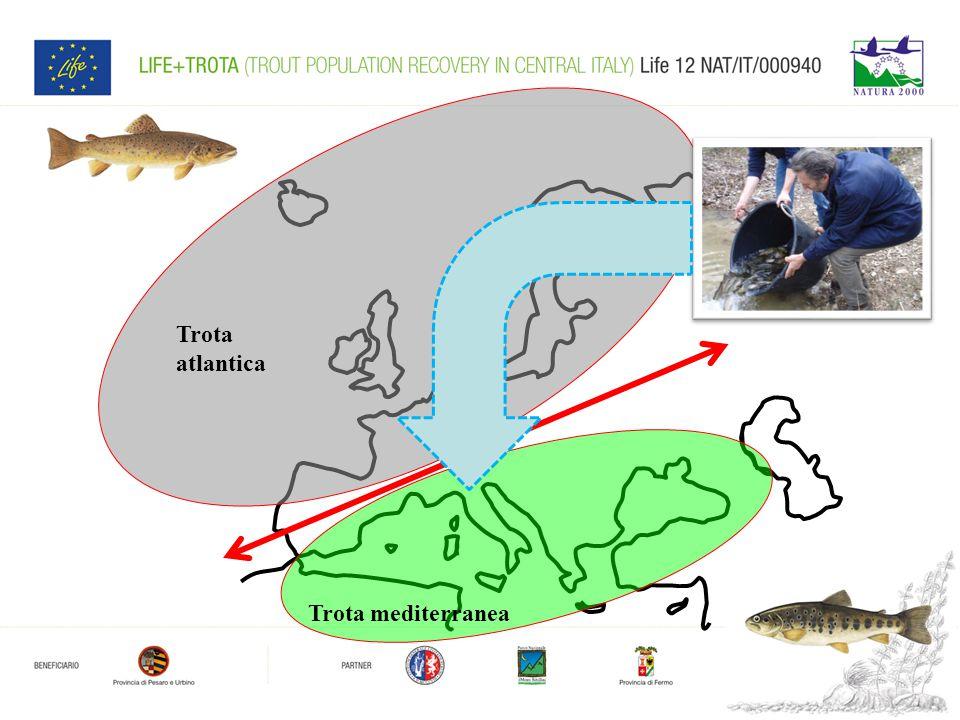 4 Trota atlantica Trota mediterranea