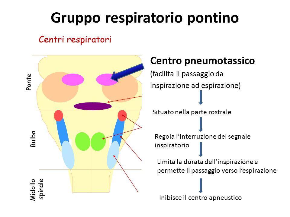 Gruppo respiratorio pontino Centro pneumotassico (facilita il passaggio da inspirazione ad espirazione) Situato nella parte rostrale Regola l'interruz