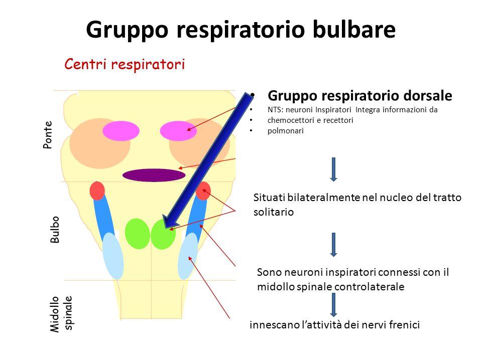 Gruppo respiratorio bulbare Gruppo respiratorio dorsale NTS: neuroni Inspiratori Integra informazioni da chemocettori e recettori polmonari Situati bi