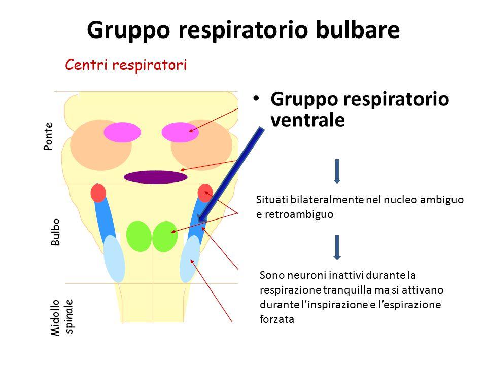 Gruppo respiratorio bulbare Gruppo respiratorio ventrale Situati bilateralmente nel nucleo ambiguo e retroambiguo Sono neuroni inattivi durante la res
