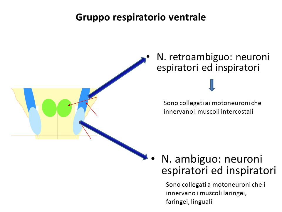 Gruppo respiratorio ventrale N. retroambiguo: neuroni espiratori ed inspiratori Sono collegati ai motoneuroni che innervano i muscoli intercostali N.