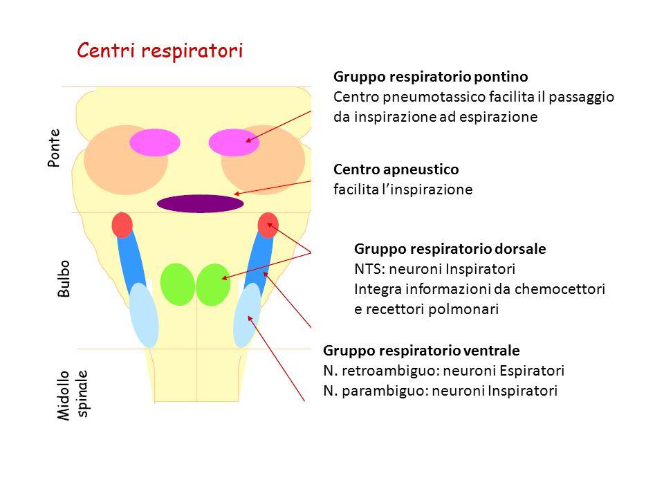 Gruppo respiratorio pontino Centro pneumotassico facilita il passaggio da inspirazione ad espirazione Centro apneustico facilita l'inspirazione Gruppo respiratorio dorsale NTS: neuroni Inspiratori Integra informazioni da chemocettori e recettori polmonari Gruppo respiratorio ventrale N.