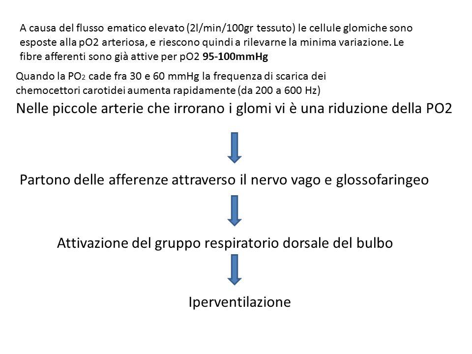 Nelle piccole arterie che irrorano i glomi vi è una riduzione della PO2 Partono delle afferenze attraverso il nervo vago e glossofaringeo Attivazione