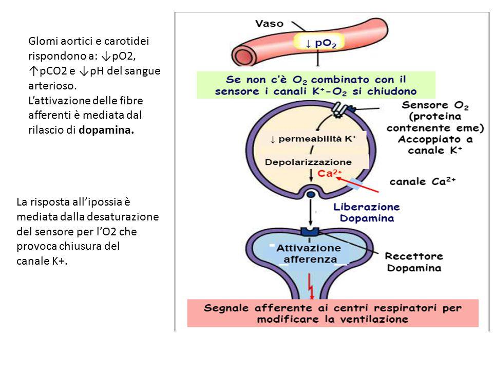 Glomi aortici e carotidei rispondono a: ↓pO2, ↑pCO2 e ↓pH del sangue arterioso. L'attivazione delle fibre afferenti è mediata dal rilascio di dopamina