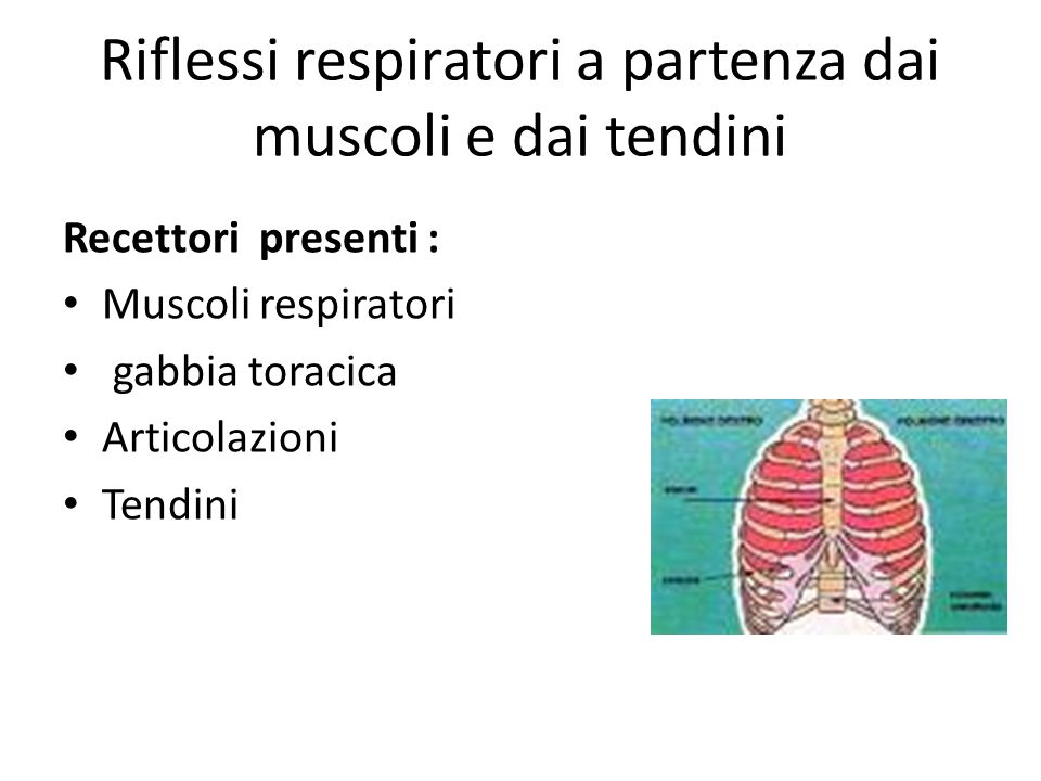 Riflessi respiratori a partenza dai muscoli e dai tendini Recettori presenti : Muscoli respiratori gabbia toracica Articolazioni Tendini