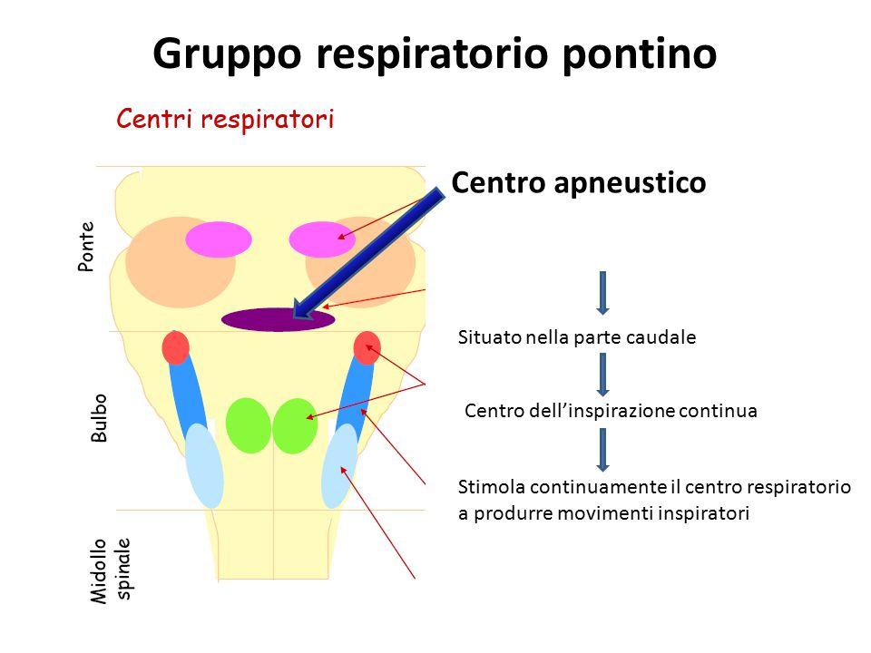 Gruppo respiratorio pontino Centro apneustico Situato nella parte caudale Centro dell'inspirazione continua Stimola continuamente il centro respirator