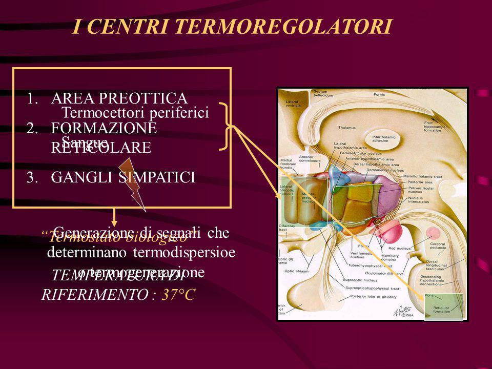 I CENTRI TERMOREGOLATORI Nell'area preottica sono presenti 4 tipi di neuroni: NEURONI RECETTIVI DI T > o < 37°C NEURONI INSENSIBILI A STIMOLI TERMICI NEURONI DI TERMO DISPERSIONE NEURONI DI TERMO PRODUZIONE w I w c RECETTIVI EFFETTORI TC = 37°C stimoli eccitatori equivalgono quelli inibitori TC > 37°C stimoli eccitatori > inibitori (neuroni w) e viceversa (neuroni c) TC eccitatori (neuroni w) e viceversa (neuroni c)