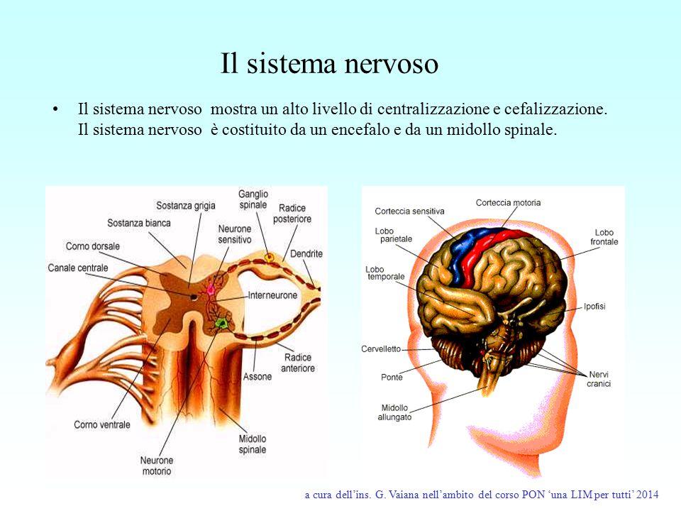 Il sistema nervoso Il sistema nervoso mostra un alto livello di centralizzazione e cefalizzazione. Il sistema nervoso è costituito da un encefalo e da