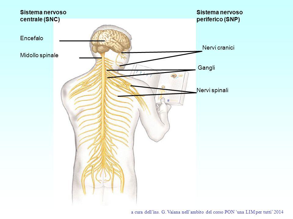 Sistema nervoso centrale (SNC) Encefalo Midollo spinale Sistema nervoso periferico (SNP) Nervi cranici Gangli Nervi spinali a cura dell'ins. G. Vaiana