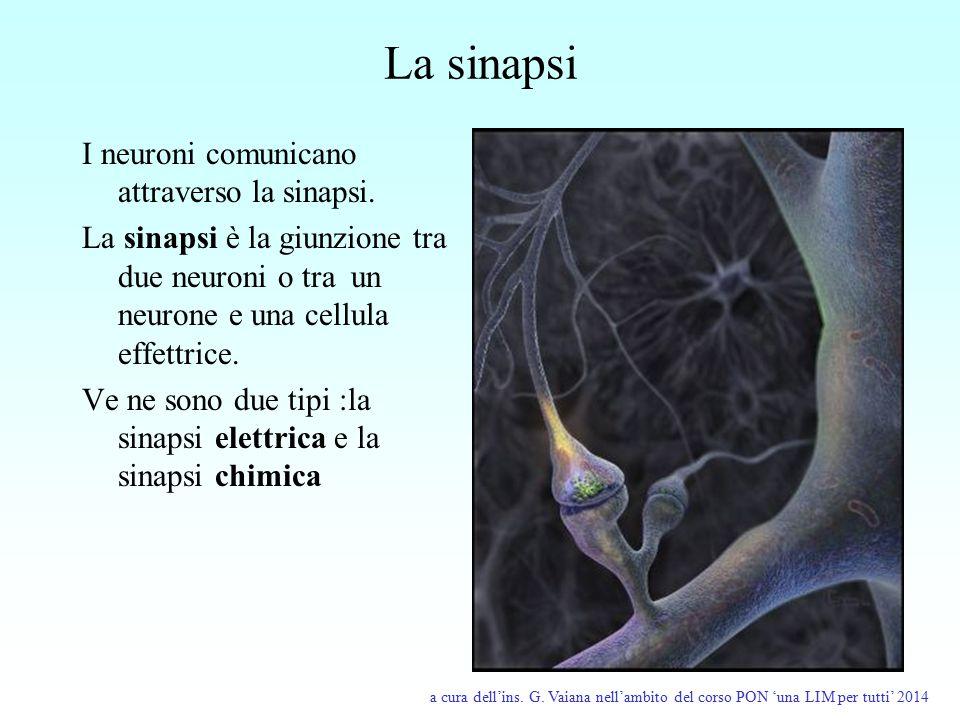 La sinapsi I neuroni comunicano attraverso la sinapsi. La sinapsi è la giunzione tra due neuroni o tra un neurone e una cellula effettrice. Ve ne sono