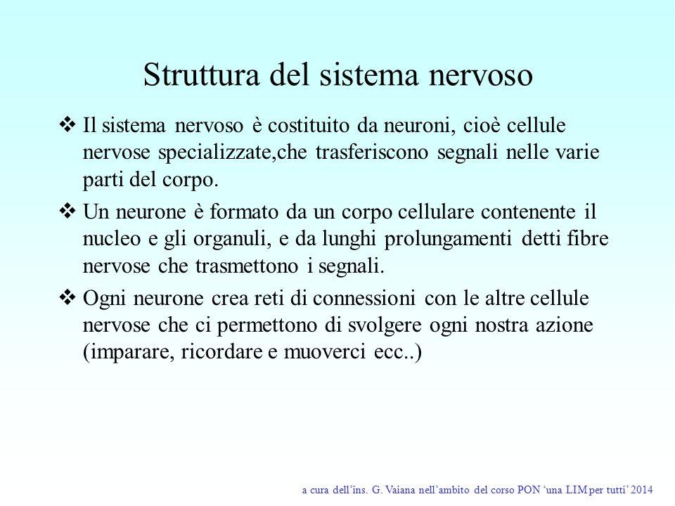 Struttura del sistema nervoso  Il sistema nervoso è costituito da neuroni, cioè cellule nervose specializzate,che trasferiscono segnali nelle varie p