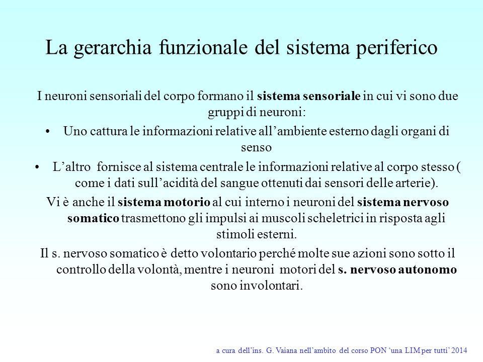 La gerarchia funzionale del sistema periferico I neuroni sensoriali del corpo formano il sistema sensoriale in cui vi sono due gruppi di neuroni: Uno