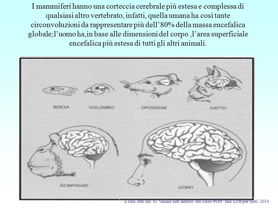 I mammiferi hanno una corteccia cerebrale più estesa e complessa di qualsiasi altro vertebrato, infatti, quella umana ha così tante circonvoluzioni da