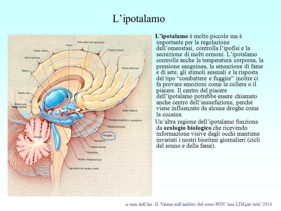 L'ipotalamo L'ipotalamo è molto piccolo ma è importante per la regolazione dell'omeostasi, controlla l'ipofisi e la secrezione di molti ormoni. L'ipot