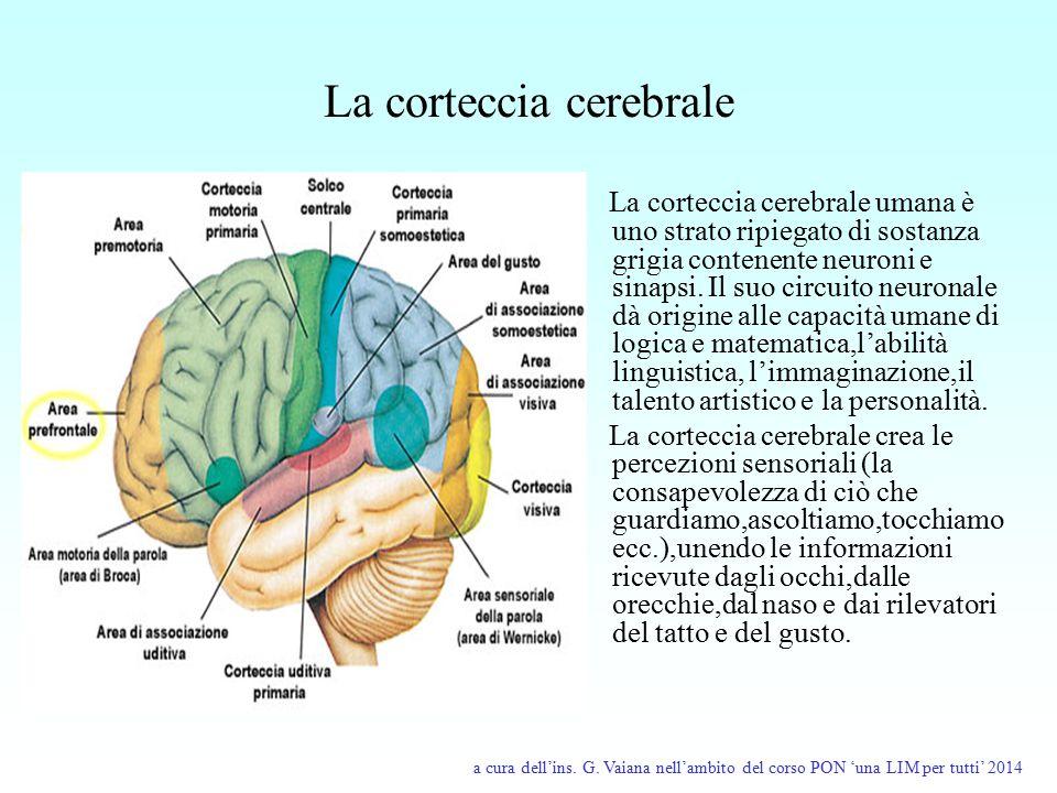 La corteccia cerebrale La corteccia cerebrale umana è uno strato ripiegato di sostanza grigia contenente neuroni e sinapsi. Il suo circuito neuronale