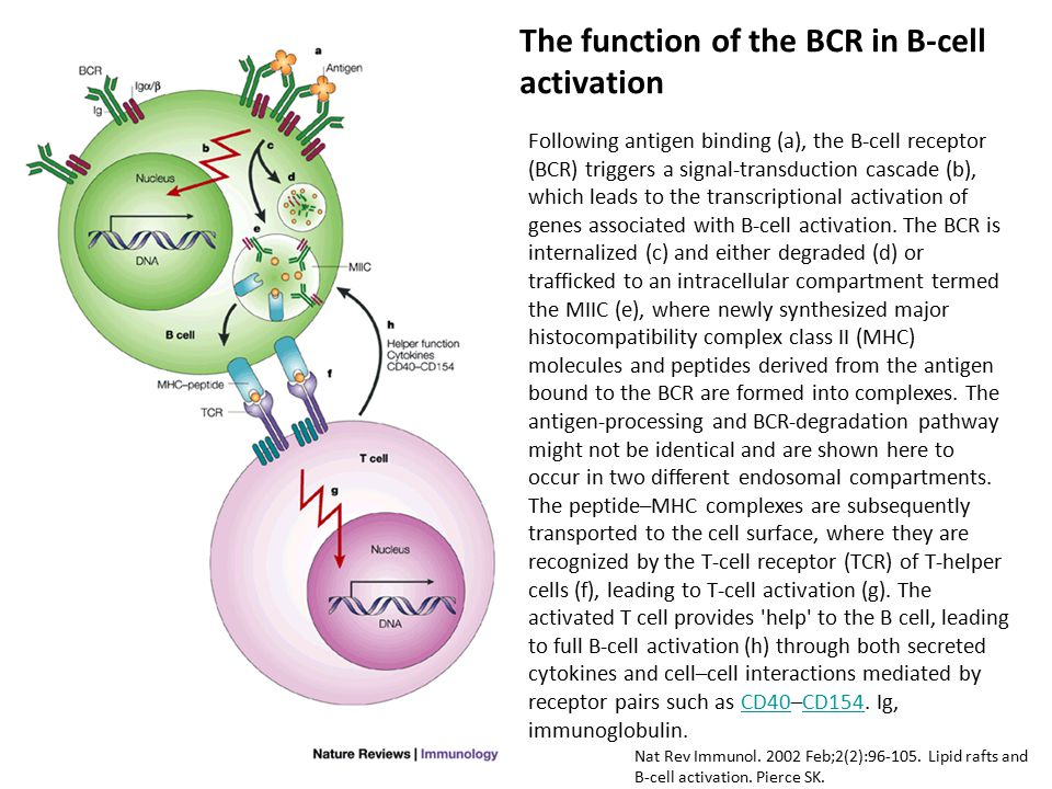 The function of the BCR in B-cell activation Following antigen binding (a), the B-cell receptor (BCR) triggers a signal-transduction cascade (b), whic
