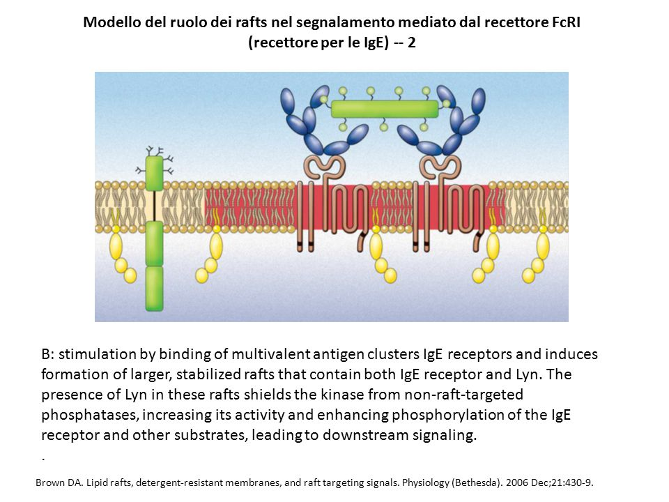 Brown DA. Lipid rafts, detergent-resistant membranes, and raft targeting signals. Physiology (Bethesda). 2006 Dec;21:430-9. Modello del ruolo dei raft