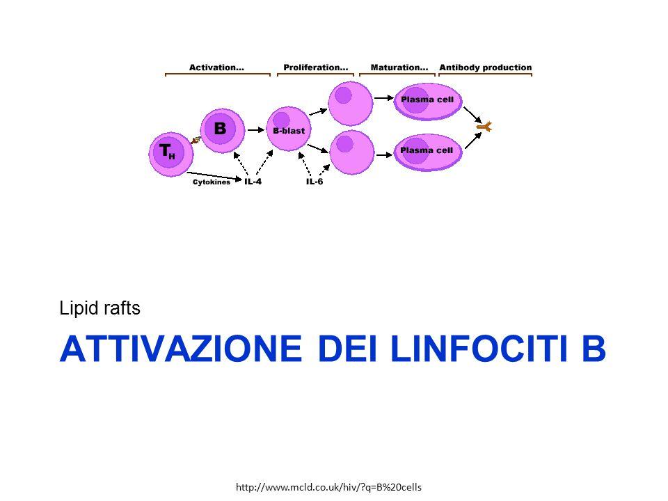 ATTIVAZIONE DEI LINFOCITI B Lipid rafts http://www.mcld.co.uk/hiv/?q=B%20cells