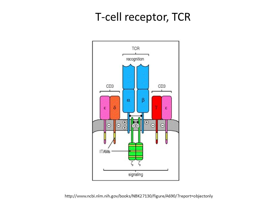 T-cell receptor, TCR http://www.ncbi.nlm.nih.gov/books/NBK27130/figure/A690/?report=objectonly