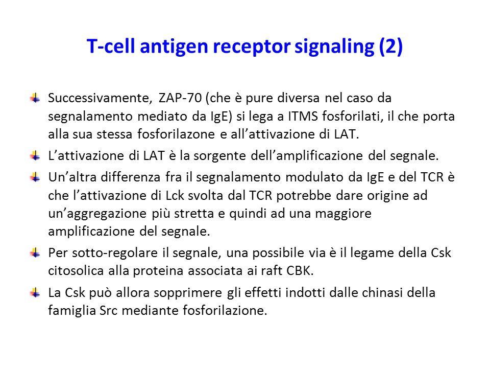 T-cell antigen receptor signaling (2) Successivamente, ZAP-70 (che è pure diversa nel caso da segnalamento mediato da IgE) si lega a ITMS fosforilati,