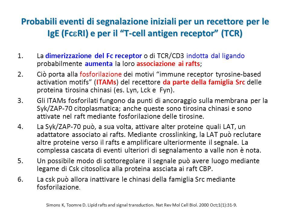 """Probabili eventi di segnalazione iniziali per un recettore per le IgE (Fc  RI) e per il """"T-cell antigen receptor"""" (TCR) 1.La dimerizzazione del Fc re"""