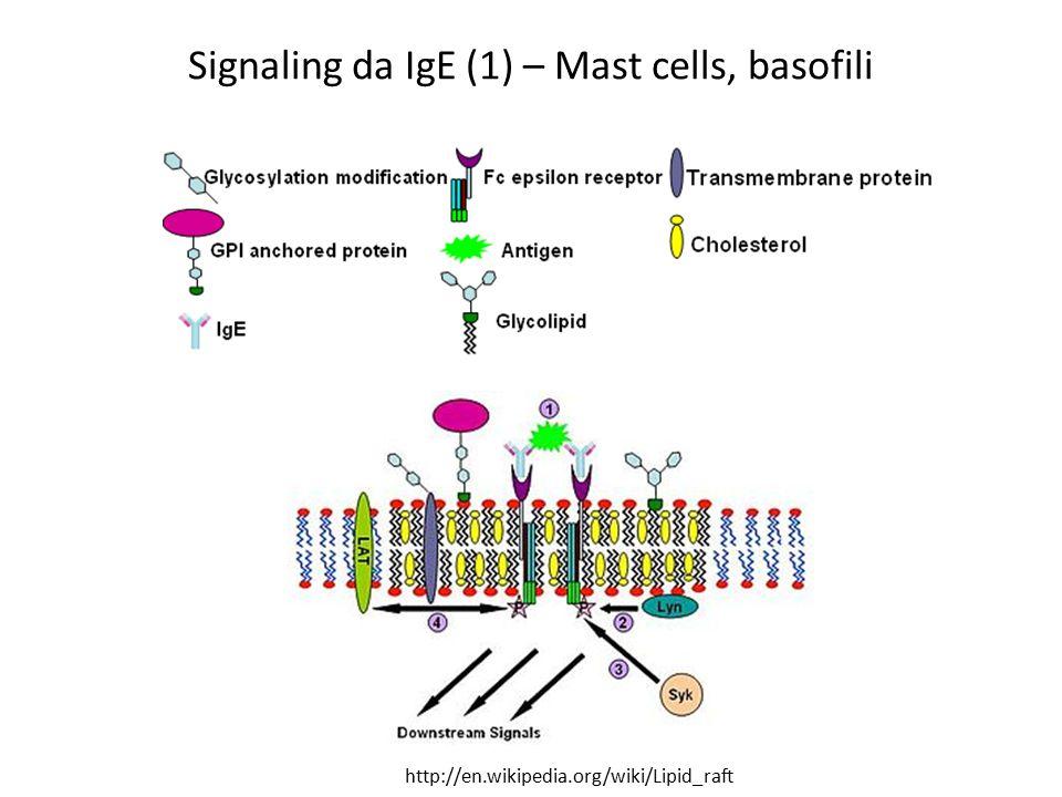 Signaling da IgE (1) – Mast cells, basofili http://en.wikipedia.org/wiki/Lipid_raft