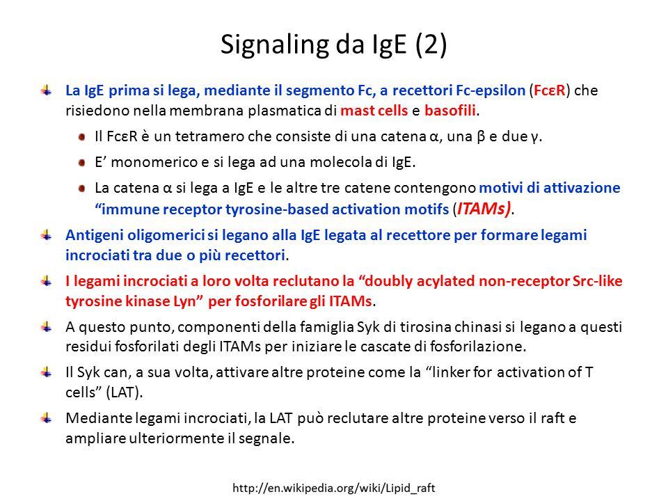 Signaling da IgE (2) La IgE prima si lega, mediante il segmento Fc, a recettori Fc-epsilon (FcεR) che risiedono nella membrana plasmatica di mast cell