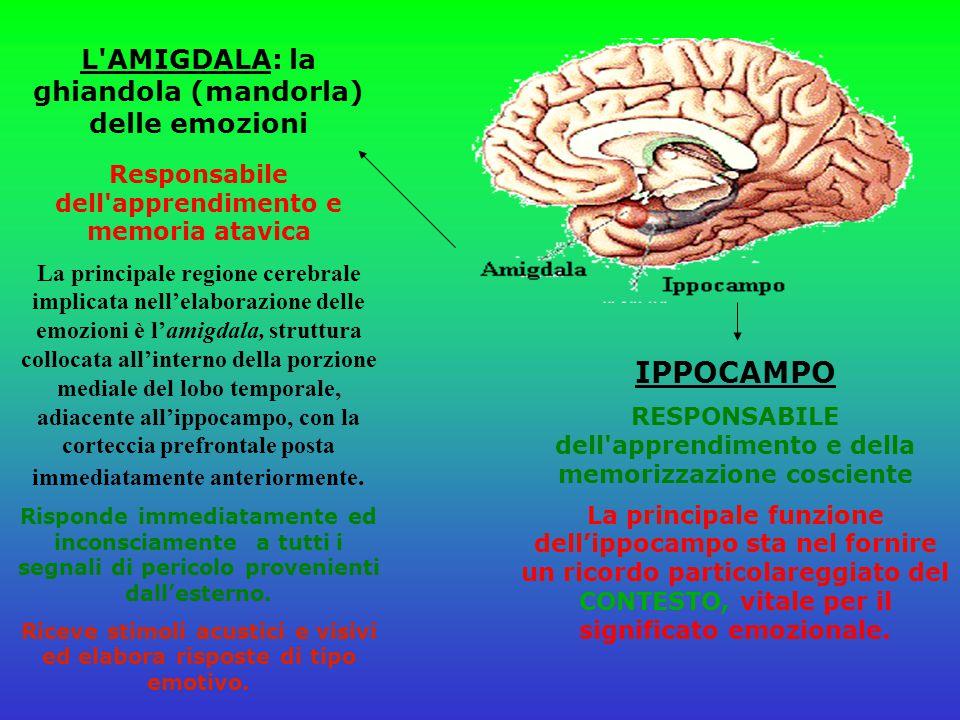 L AMIGDALA: la ghiandola (mandorla) delle emozioni Responsabile dell apprendimento e memoria atavica La principale regione cerebrale implicata nell'elaborazione delle emozioni è l'amigdala, struttura collocata all'interno della porzione mediale del lobo temporale, adiacente all'ippocampo, con la corteccia prefrontale posta immediatamente anteriormente.